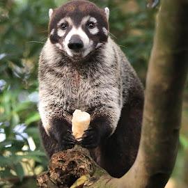 by Jenniffer Hunter - Animals Other ( monteverde, coati, costa rica, coatimundi )