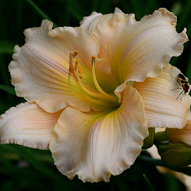 Peachy Daylily by Dallas Chalkley Jr. - Flowers Single Flower