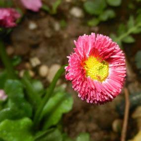 Lonely Flower by Nat Bolfan-Stosic - Uncategorized All Uncategorized ( single, pink, backyard, lonely, flower )