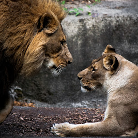 The Pair by Ryan Snow - Animals Lions, Tigers & Big Cats