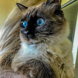 Bella by Taz Graham - Animals - Cats Portraits ( cats )
