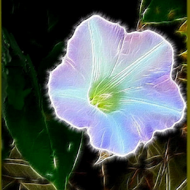 Solo Show by Nancy Bowen - Novices Only Flowers & Plants ( morning glory, night shot, filter )