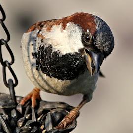 Canada Day 32 by Terry Saxby - Animals Birds ( bird, canada, terry, goderich, ontario, saxby, nancy )