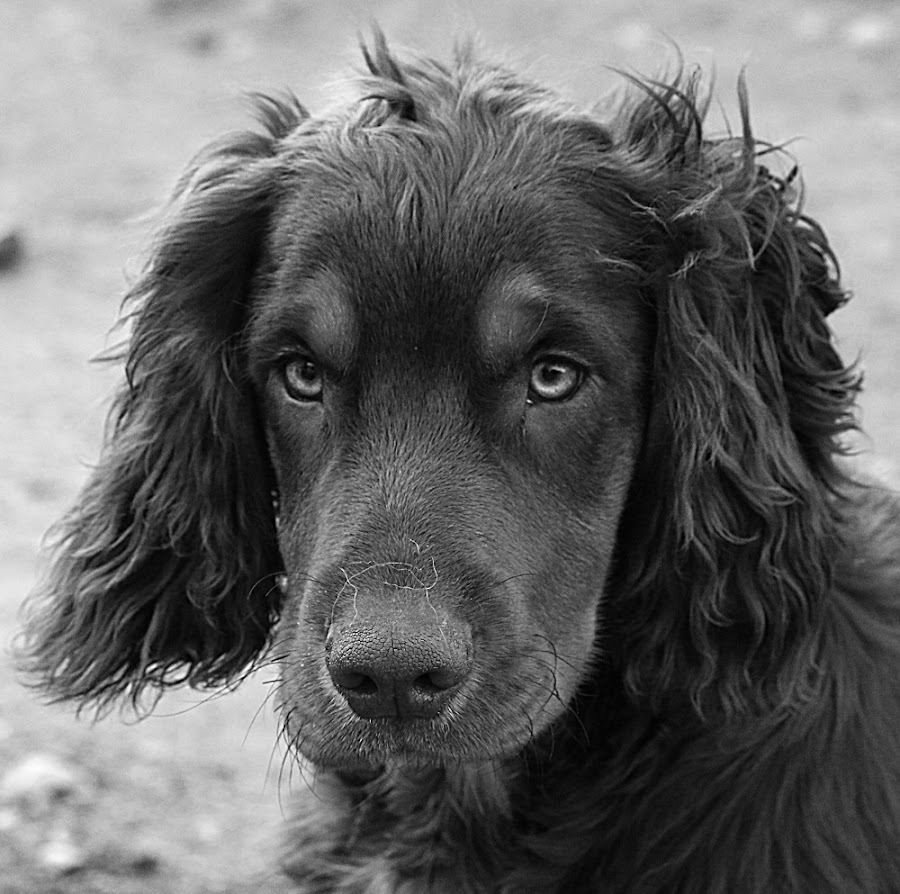 Young Dax by Chrissie Barrow - Black & White Animals ( monochrome, black and white, cocker spaniel, pet, fur, ears, dog, mono, nose, portrait, eyes, animal )