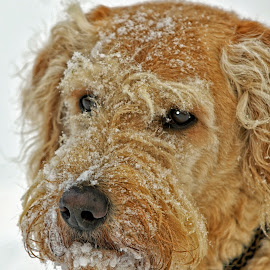 Labradoodle Head Portrait by Twin Wranglers Baker - Animals - Dogs Portraits