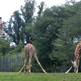 Giraffes Eating by Amber Thomas - Animals Other Mammals ( zoo, funny, giraffes eating, eating, giraffes )