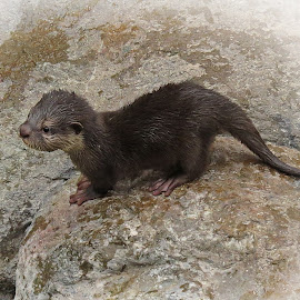 Baby Otter by Nancy Young - Animals Other ( otter, rocks, animal )