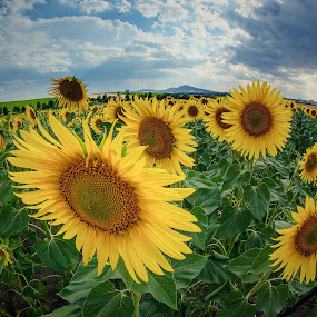 Guardians of the magic Mountain by Jiri Cetkovsky - Flowers Flowers in the Wild ( field, moravia, palava, sunflower, landscape,  )