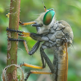 robber fly by Angga Pongge - Animals Insects & Spiders