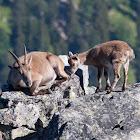 Apine Ibex