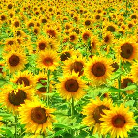 by Luna Sol - Flowers Flower Gardens (  )