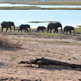 Mommas and babies in Botswana by Lisa Faith-Gregg - Animals Other