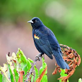 Black bird by Ruth Overmyer - Animals Birds