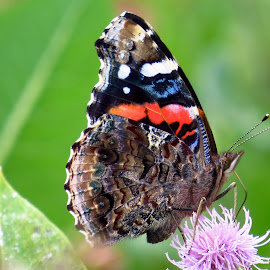 Painted Lady by Patti Hobbs - Animals Insects & Spiders ( insects and spiders painted lady )