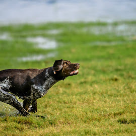 The Chase by Marnoe Elzanne - Animals - Dogs Playing