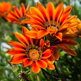 Gazania wildflowers by Kathy Dee - Nature Up Close Gardens & Produce ( isolated, wildflowers, orange, beautiful, sun coming through wildflowers, daisies, spring, close-up, gazania, spring colorful flowers, nature, dark, flowers )