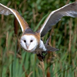 Barn Owl by Darren Sutherland - Animals Birds
