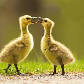 Canada Goose by Mircea Costina - Animals Birds ( babies, canada, play, cute, birds, goose )
