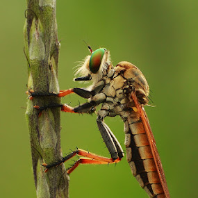 wait for prey by Bayu Sanjaya - Animals Insects & Spiders