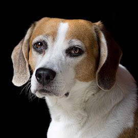 Hatton by Becky Kempf - Animals - Dogs Portraits ( hound, pet, beagle, dog )