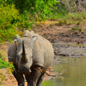 Rhino and friends by Diane Rogers Jones - Novices Only Wildlife