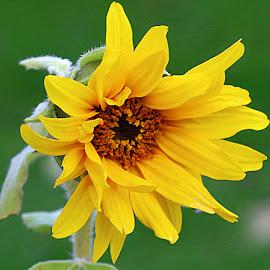 Teeny Weeny Sunflower by Chrissie Barrow - Flowers Single Flower ( stigma, orange, single, stamens, petals, green, sunflower, yellow, garden, black, flower )
