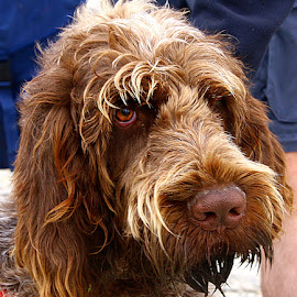 Enzo by Chrissie Barrow - Animals - Dogs Portraits ( italian, ear.eye, pet, male, fur, brown, spinone, rough, dog, nose, young, tan, portrait )