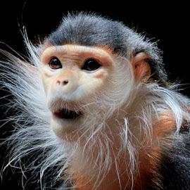 Astonishment by Ann J. Sagel - Animals Other Mammals ( ann j. sagel, douc langur, monkey )