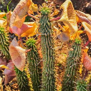 20110108-Hoodia Plant-1.jpg