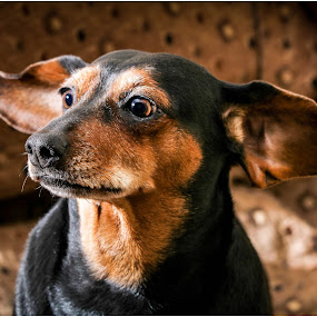 What ,  did you say??? by Susan Pretorius - Animals - Dogs Portraits (  )