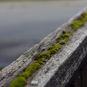 Moss by Devin Rieger - Nature Up Close Other plants ( fence, nature, green, street, outdoors, plants, moss )