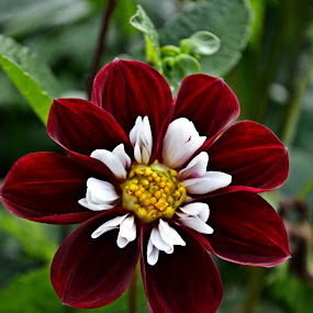 Red and white dahlia by Heather Aplin - Flowers Single Flower ( red, white, garden, dahlia, flower,  )