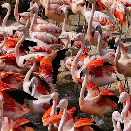 The Flamingos  by Nelin Reisman - Animals Birds ( colorful birds, texas, san antonio zoo, flamingos, birds,  )
