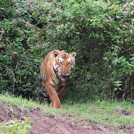 Indian Tiger in Action by Guru Prasad - Animals Lions, Tigers & Big Cats ( big cat, tiger, guru prasad, forest, tigers )
