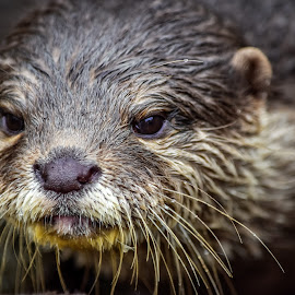 Asian Clawed Otter by Gabriela Ciobanu - Animals Other Mammals ( copenhagen, zoo, otter, clawed, asian )