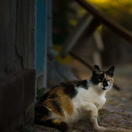 Cute Cat in Cunda Streets by Arda Erlik - Animals - Cats Portraits ( cunda, sony, cat, street, arda erlik, turkey, balikesir, bokeh, animal )