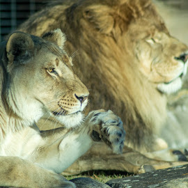 Leo and Una by Chelsea Parrish - Animals Lions, Tigers & Big Cats ( lion, cat, animal )