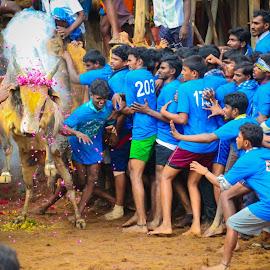 Jallikattu by Sagaya Raj - Sports & Fitness Other Sports ( tamilan, impressiveclickers, jallikattu, tamilnadu )