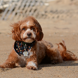 Beach time by Steven Liffmann - Animals - Dogs Portraits ( sand, puppy, cavapoo, beach, cute, handsome, dog, portrait )