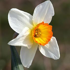 Daffodil by Chrissie Barrow - Flowers Flowers in the Wild ( wild, orange, daffodil, petals, green, trumpet, white, narcissus, yellow, bokeh, corona, stem, closeup, flower,  )