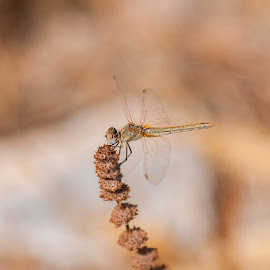 Dragonfly by Grigoris Koulouriotis - Animals Insects & Spiders ( nature, feathers, insect, dragonfly, animal )