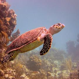 Hawskbill Turtle by D W - Animals Sea Creatures ( bretton98, sea creatute, hawksbill turtle, grand turk, eretmochelys imbricata, david white photography, caribbean )