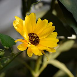 nice yellow summer flower in my garden by LADOCKi Elvira - Flowers Tree Blossoms ( floral, flowers, nature, plants, garden, summer )