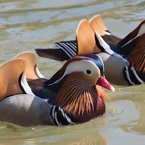 Two Mandarin Ducks by Jack Nevitt - Animals Birds ( nature, waterfowl, pair, duck, couple, feather, birds )