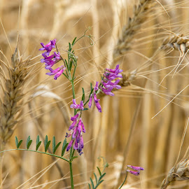 Purple on Wheat by מקס מולנר - Nature Up Close Leaves & Grasses