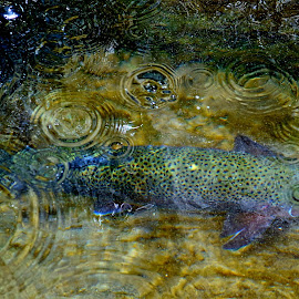 Big Brown Trout by Rob Bradshaw - Animals Fish ( rain, fish, trout, big brown trout, brown trout )