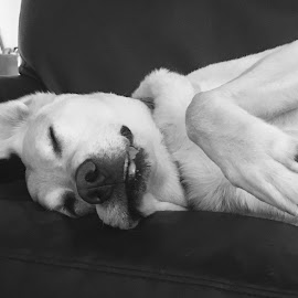 So Ruff by Laura Mohoi - Black & White Animals ( black and white, tired, adorable, labrador, cute, sleep, dog, animal )