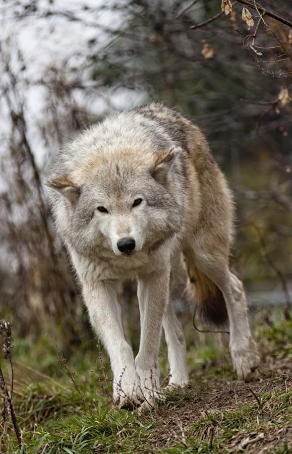 Grey Wolf by Dave Dupéré - Animals Other Mammals