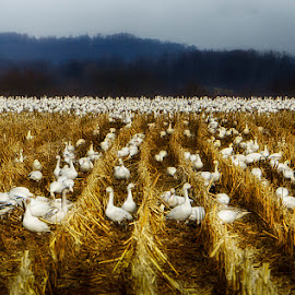 Middle Creek Snow Geese by Betsy Wilson - Landscapes Prairies, Meadows & Fields ( migration, middle creek, snow geese, geese, corn field )