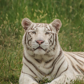 Shiva by Garry Chisholm - Animals Lions, Tigers & Big Cats ( nature, tiger, white, bigcat )
